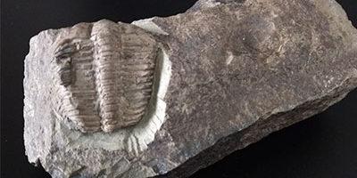 Trilobite Ptychoparia Striata