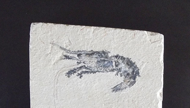 Fósil Gamba Carpopenaeus Callirostris