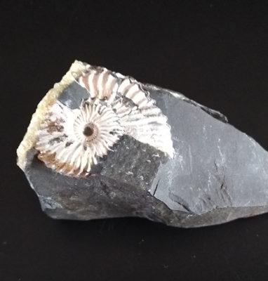 fosiles-amonites-nacarados-quenstedtoceras-7