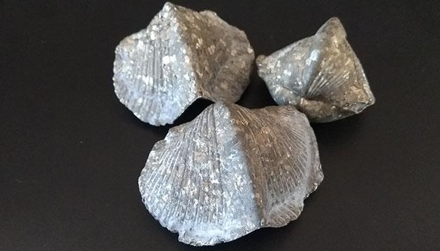 Fósiles Braquiópodos Piritizados - Paraspirifer