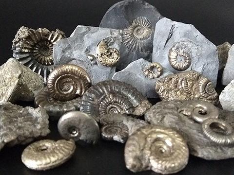 Colección de fósiles amonites piritizados