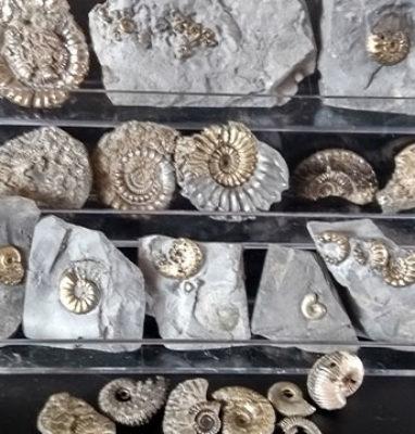 Coleccion-amonites-piritizados
