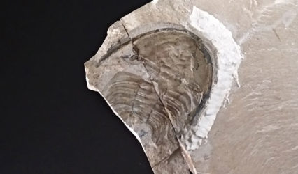 Trilobite Olenellus Gilberti