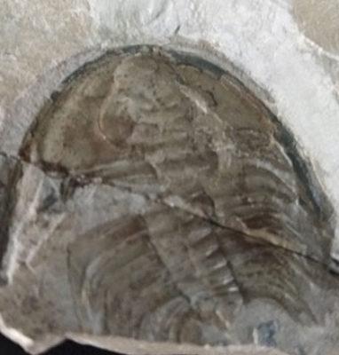 Trilobite-Olenellus-Gilberti-zoom
