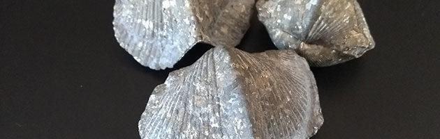 Fósiles Braquiópodos Piritizados – Paraspirifer