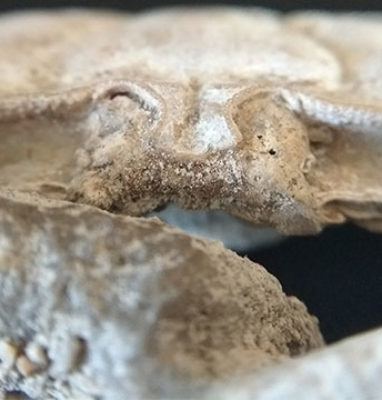 Cangrejo-Macrophthalmus-Latreilli-frontal
