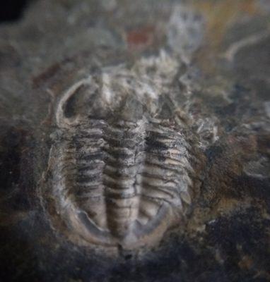 Trilobite Amphoton Deois zoom up