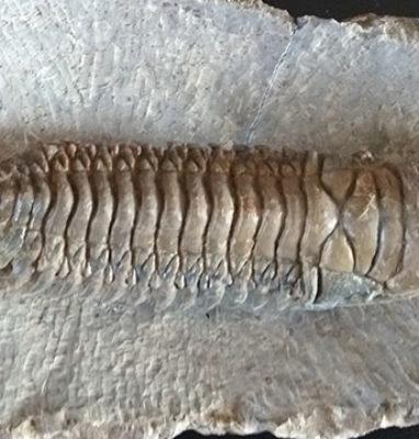 Trilobite-Crotalocephalina-Gibbus-superior