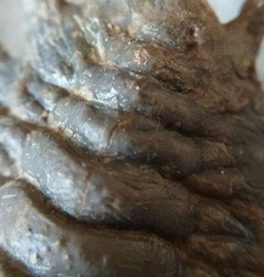 Trilobite-Crotalocephalina-Gibbus-trasera-delantera