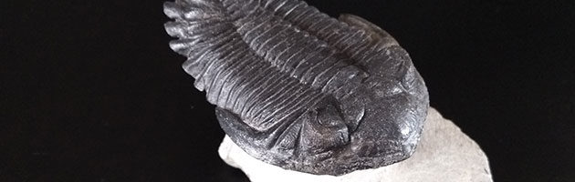 Trilobite Metacanthina Barrendei