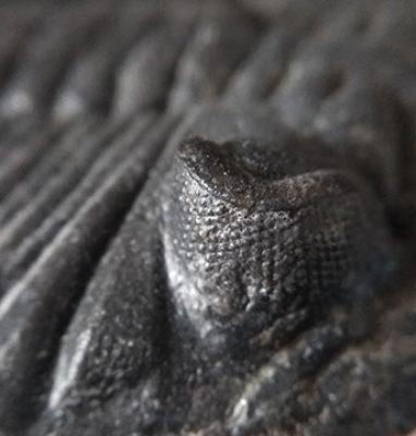 Trilobite-Metacanthina-Barrendei-ojo