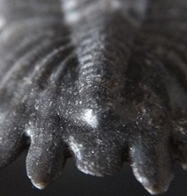 Trilobite-Metacanthina-Barrendei-trasera