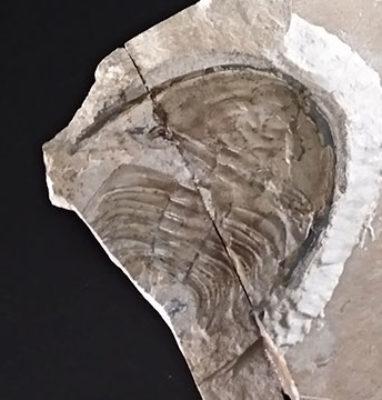 Trilobite-Olenellus-Gilberti