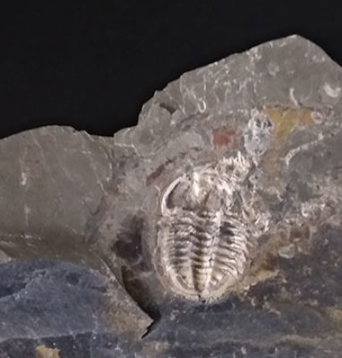 Trilobite-amphoton-deois