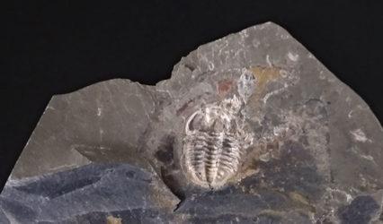 Trilobite Amphoton Deois